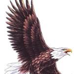 eagle tattoo 3 150x150 - Eagle Tattoos Design Ideas Pictures Gallery